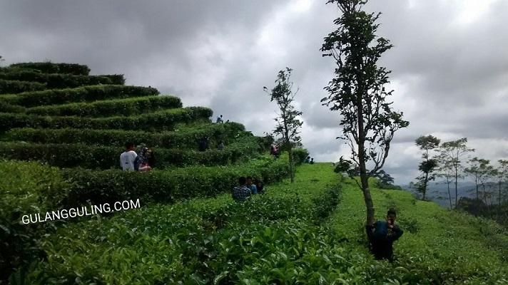 Para pengunjung berfoto di kebun teh Nglinggo