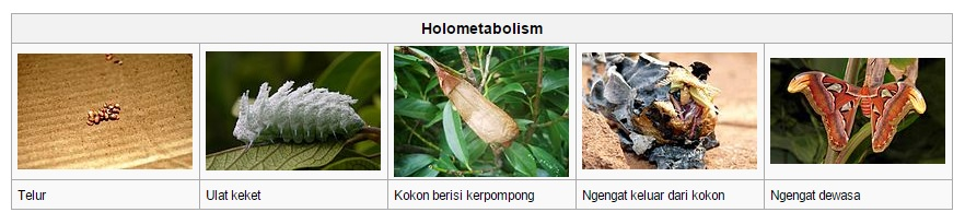 Daur hidup kupu-kupu gajah via wikipedia.